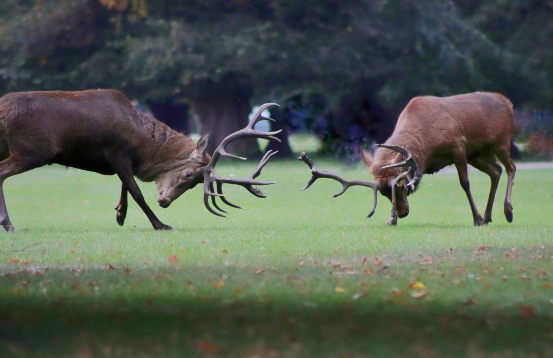 """""""Red deer stags fighting"""" stock image"""