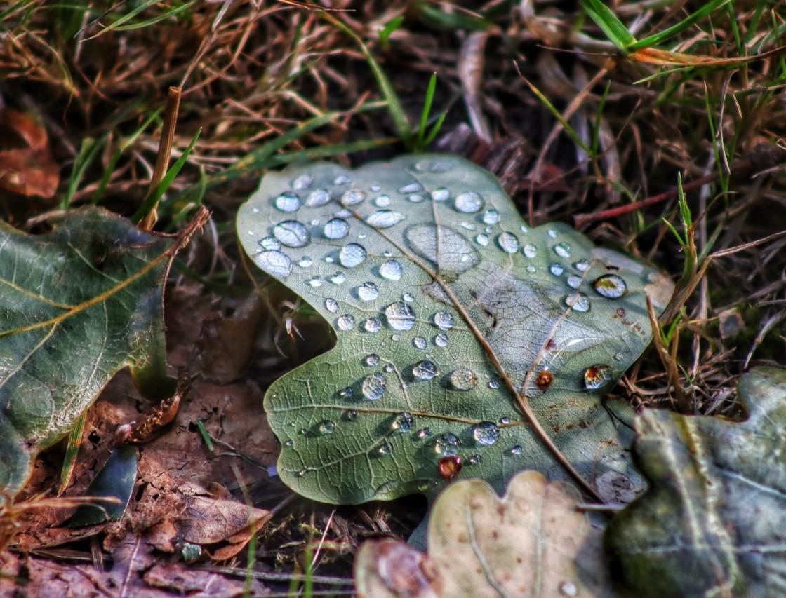 """Oak leaf after rain."" stock image"