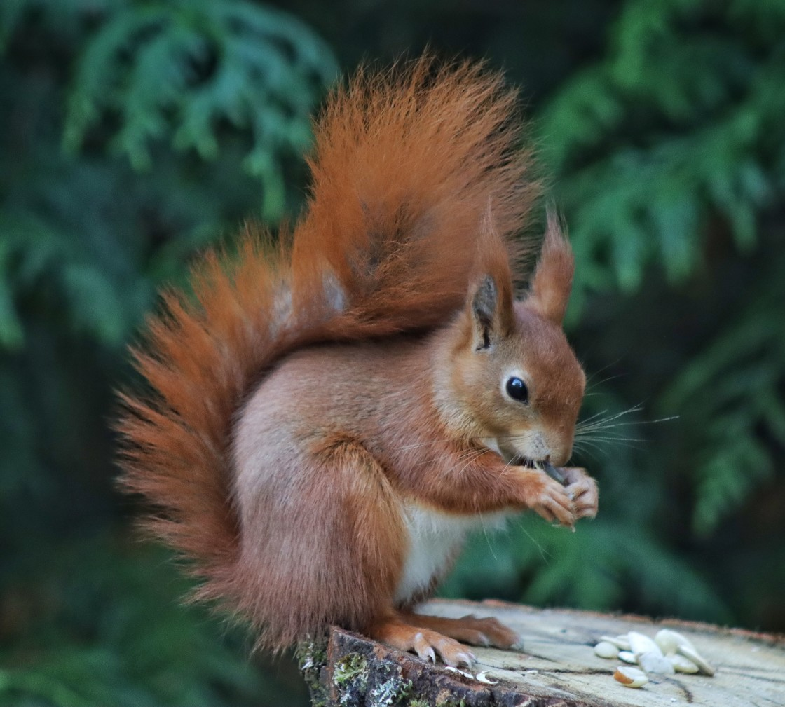 """""""Bushy Tailed Red Squirrel"""" stock image"""