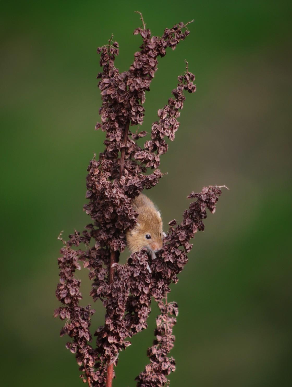 """""""Harvest Mouse Portrait"""" stock image"""