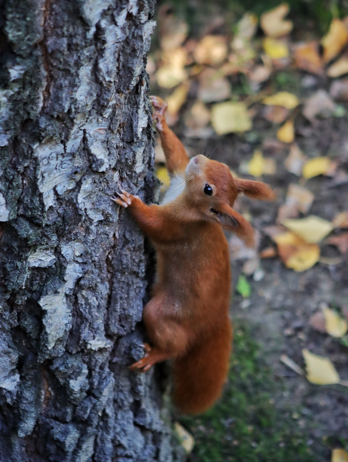 """""""The Ascending Squirrel"""" stock image"""