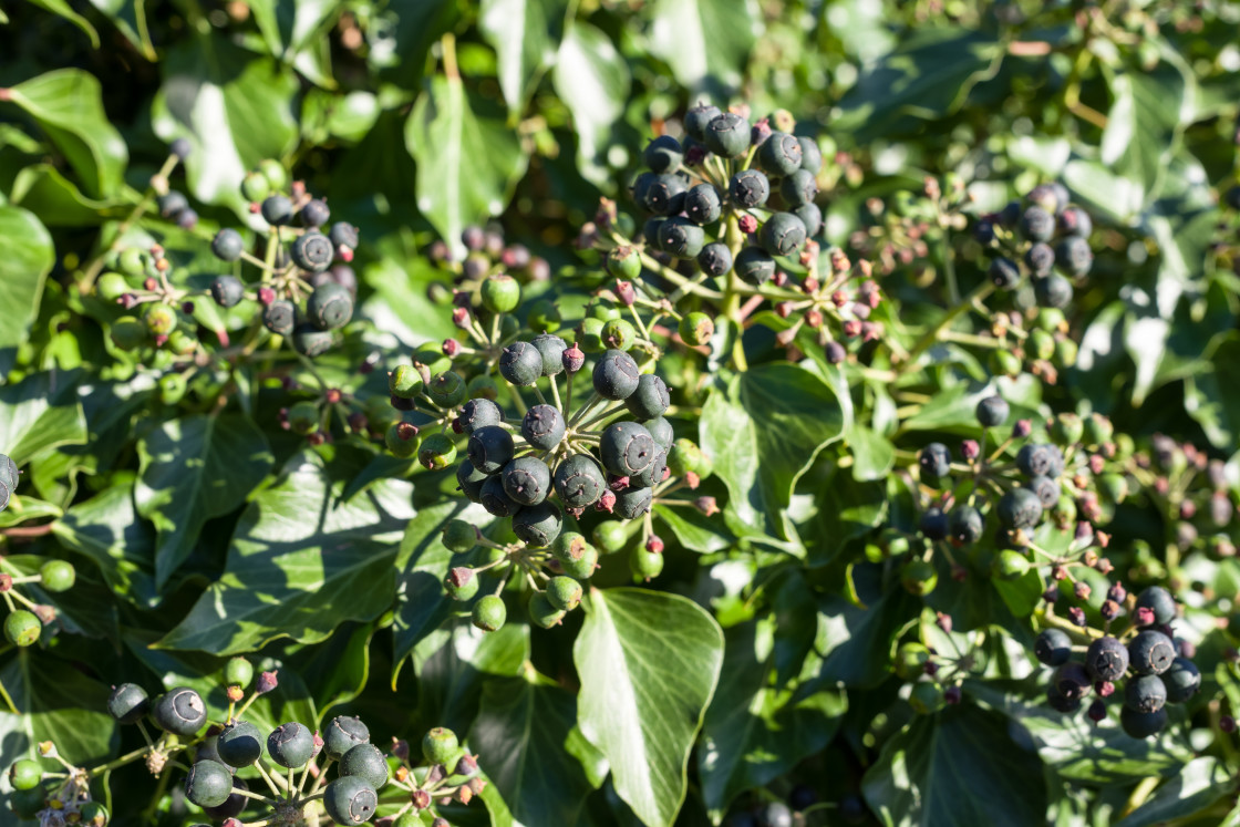 """Ivy Berries"" stock image"