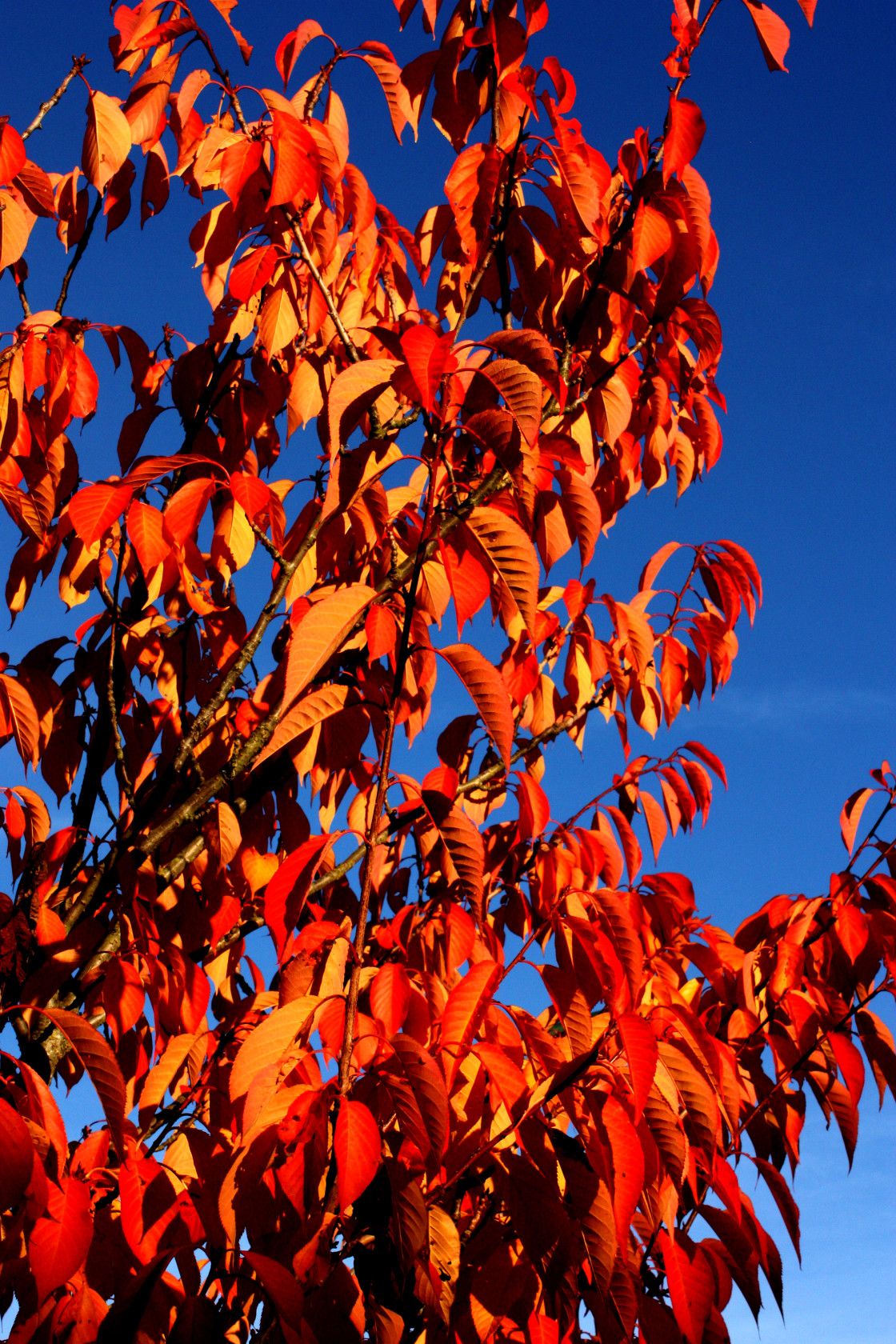 """Autumn Colours on a tree"" stock image"