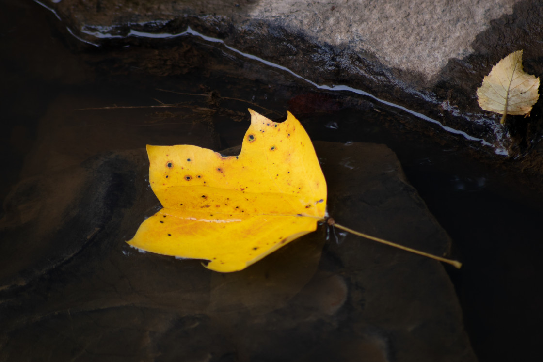 """""""A Yellow Leaf"""" stock image"""