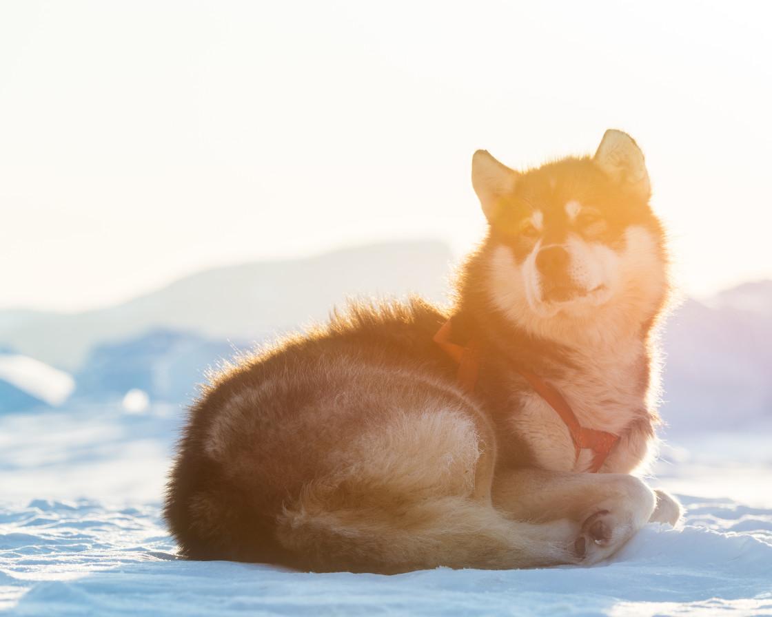 """""""Sled dog"""" stock image"""