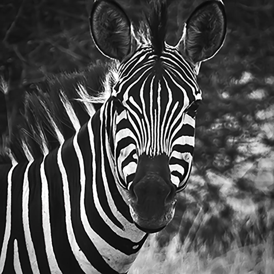 """Zebra, Tarangire National Park, Tanzania"" stock image"
