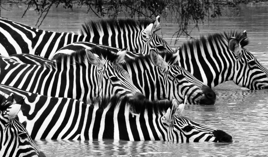 """Zebras in Water Hole"" stock image"