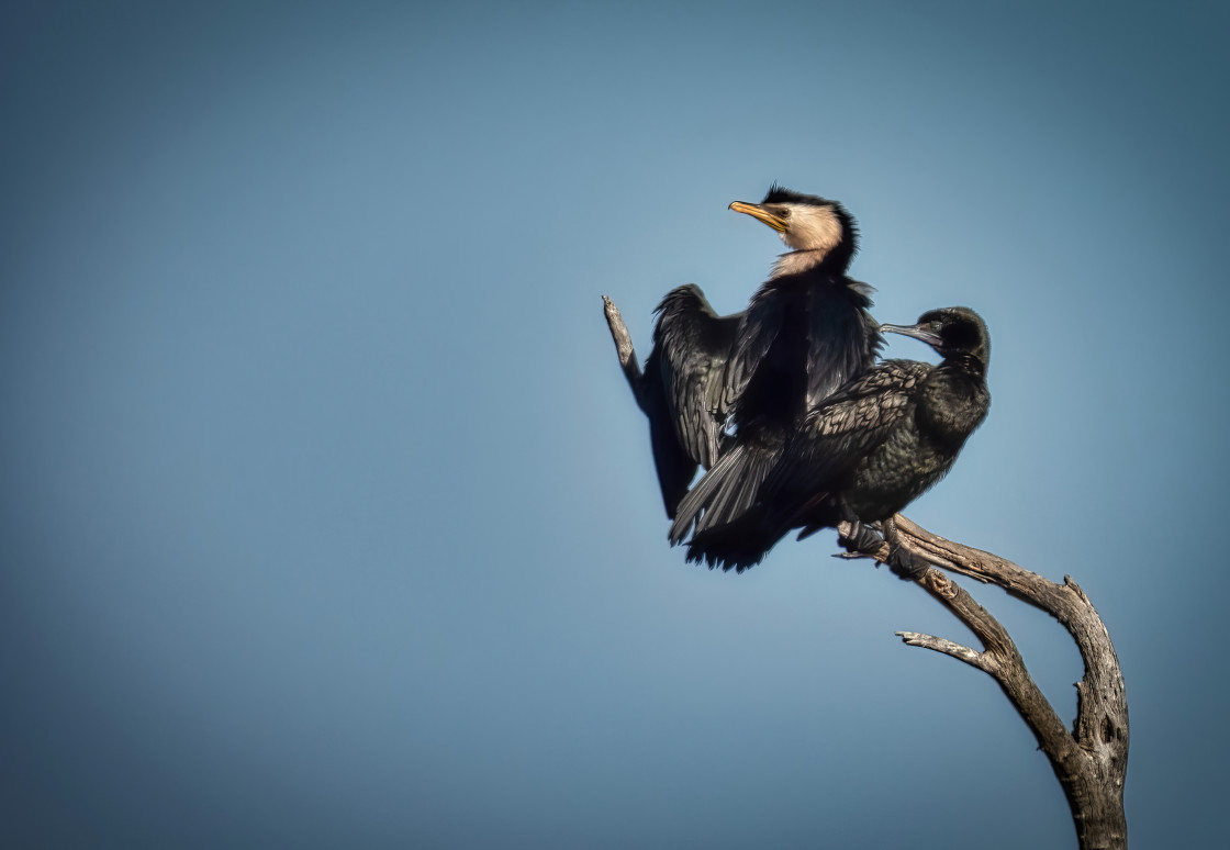 """""""Cormorants perching on a branch"""" stock image"""