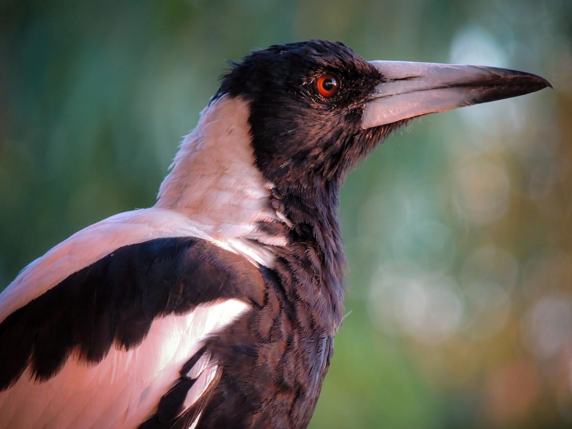 """Australian Magpie profile portrait"" stock image"
