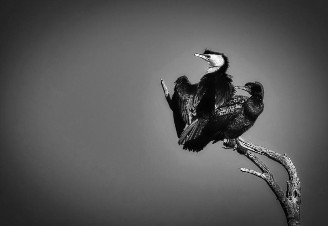 """Cormorant Pair"" stock image"