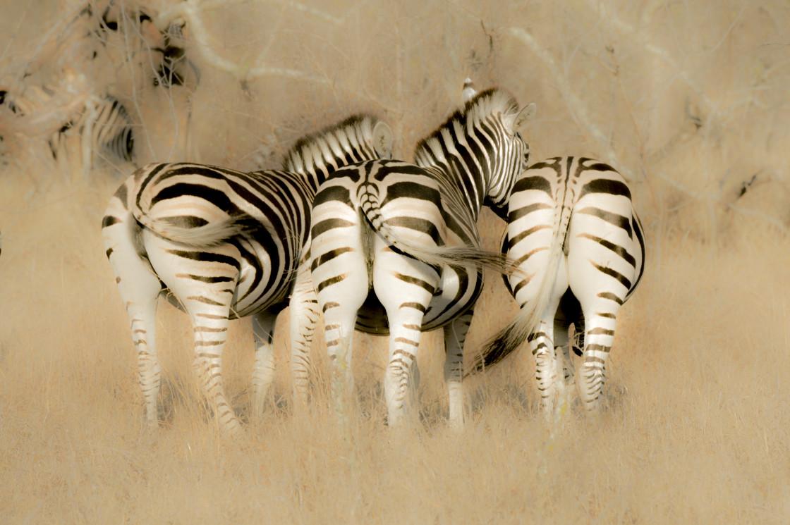 """Zebra Art"" stock image"