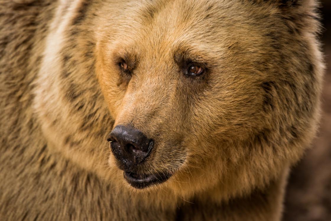 """A bear's look"" stock image"