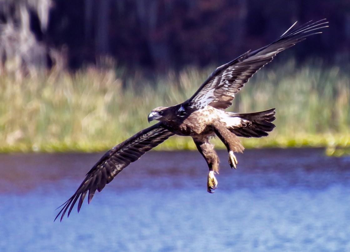 """Golden Eagle Gliding"" stock image"