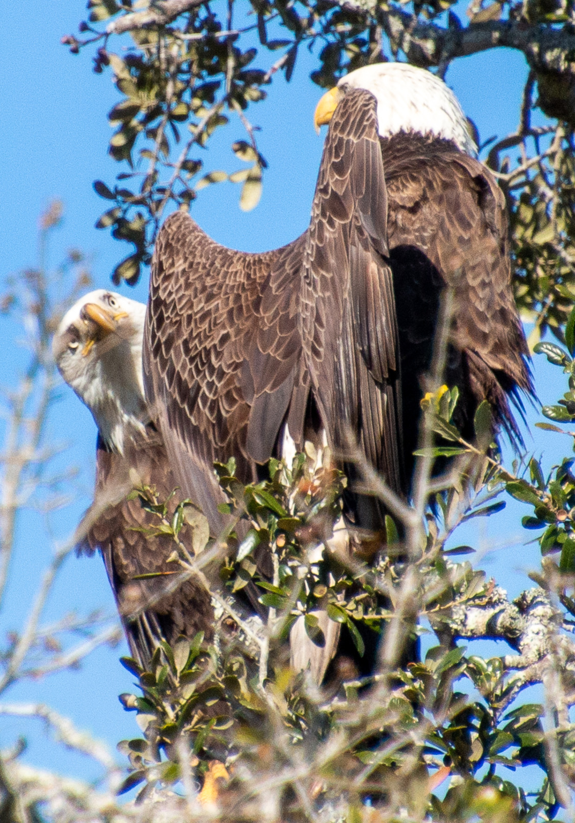 """Pair of Bald Eagles Central Florida USA"" stock image"