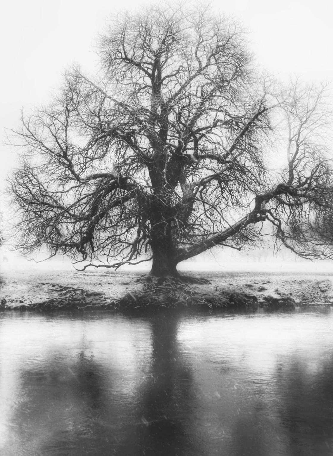 """Old Oak Tree"" stock image"