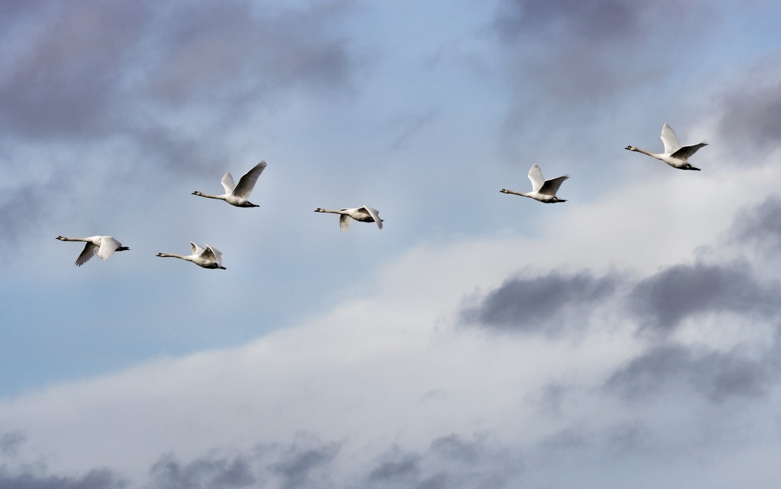 """""""Flock of swans"""" stock image"""
