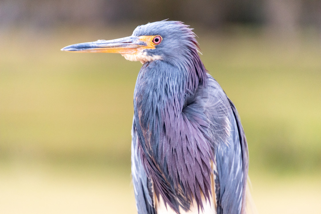 """""""A Young Blue Heron Teenage"""" stock image"""