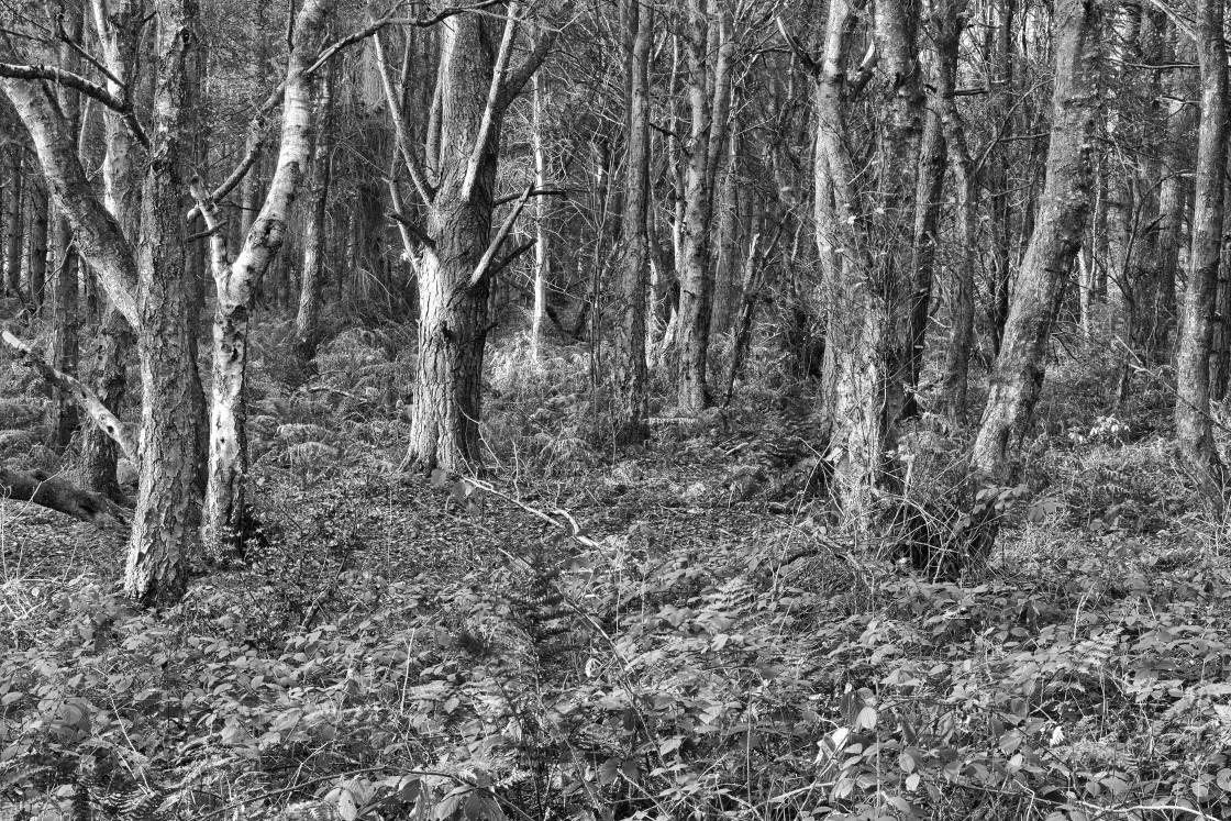 """""""Cawthorn Roman Camp Woods"""" stock image"""