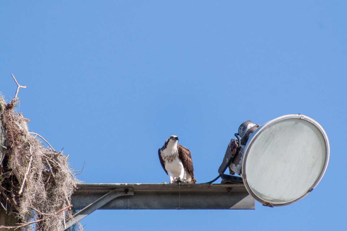 """OSPREY EATING A FISH FROM WATER BELOW"" stock image"
