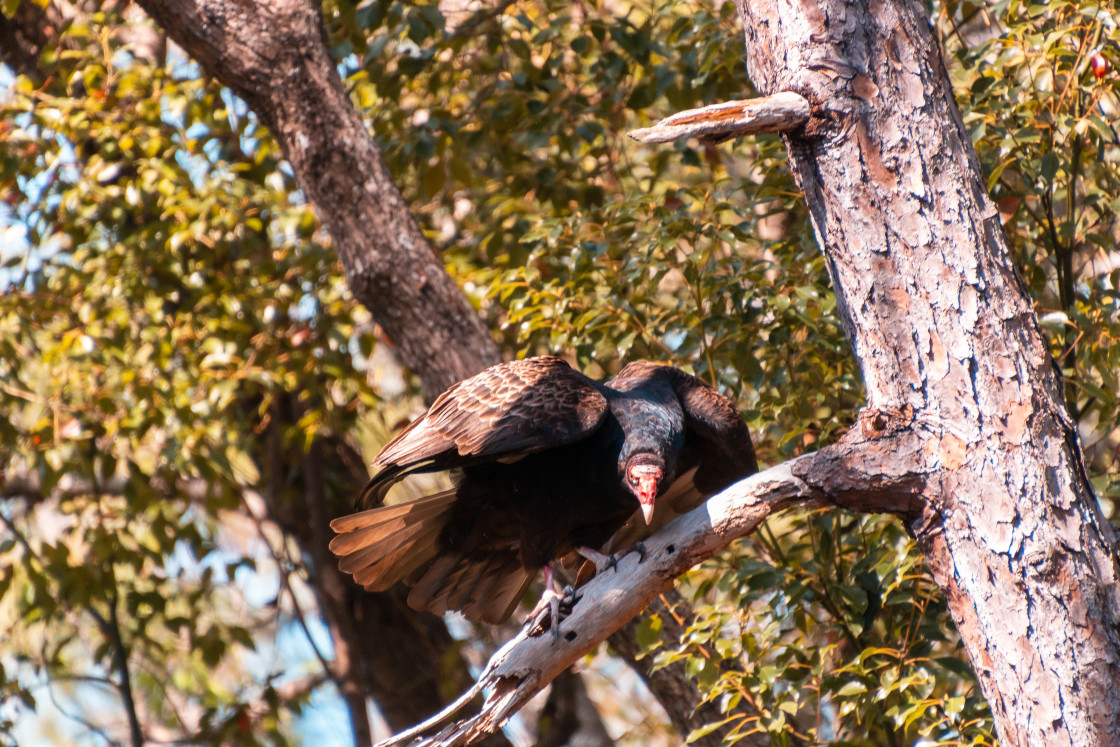 """VULTURE PERCHED ON LIMB LOOKING DOWN"" stock image"