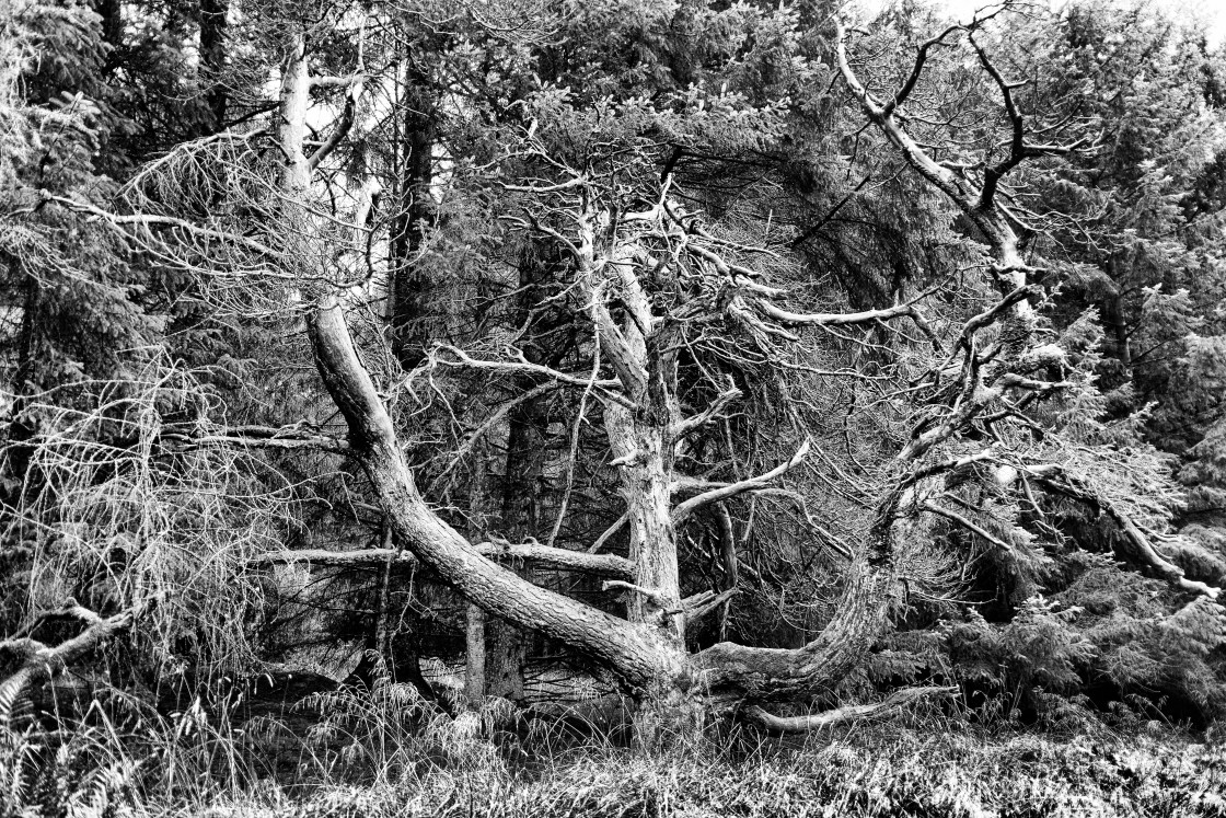 """""""Trident Tree"""" stock image"""