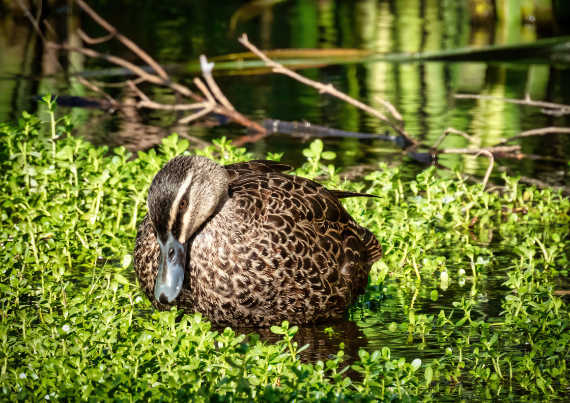 """""""Duck Foraging"""" stock image"""