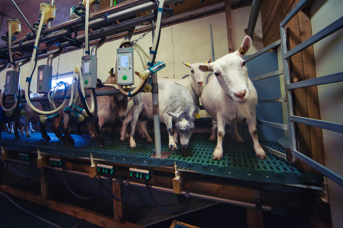 """""""dairy goats on a milking parlour"""" stock image"""