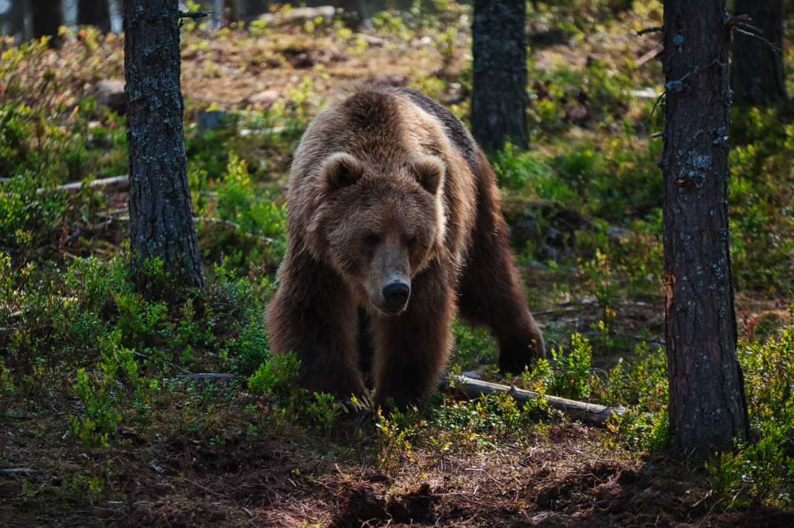 """""""a bear walking in the forest"""" stock image"""