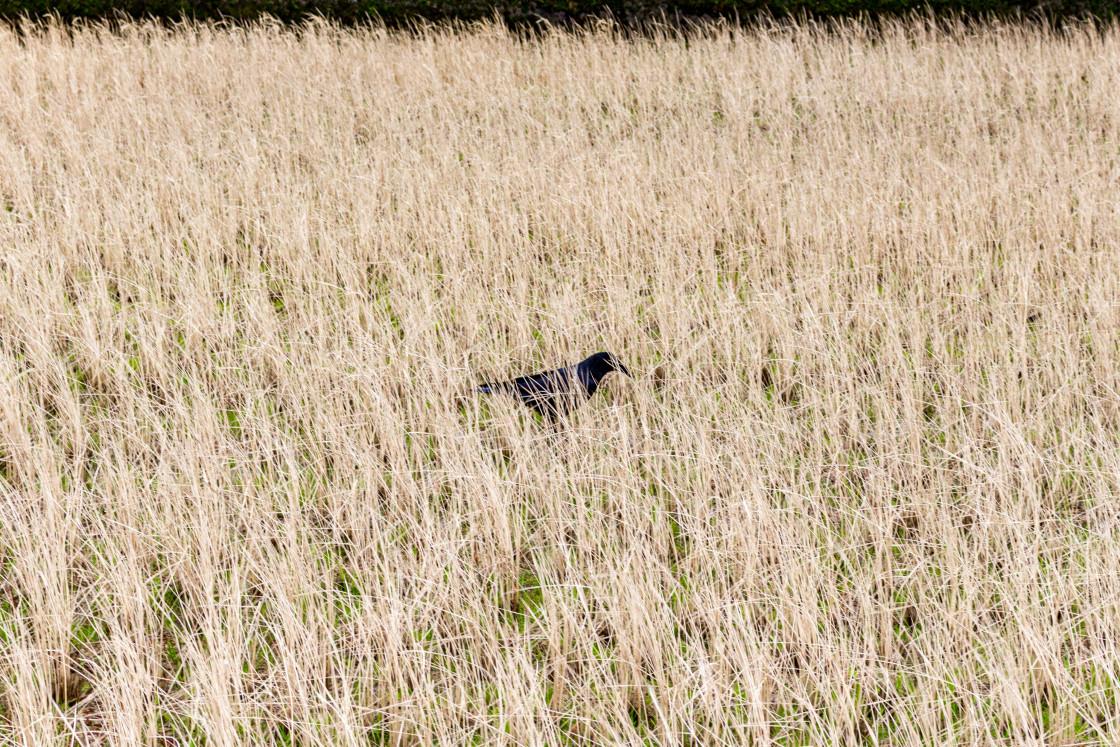 """Black crow in winter rice paddy field, Kanazawa, Japan."" stock image"