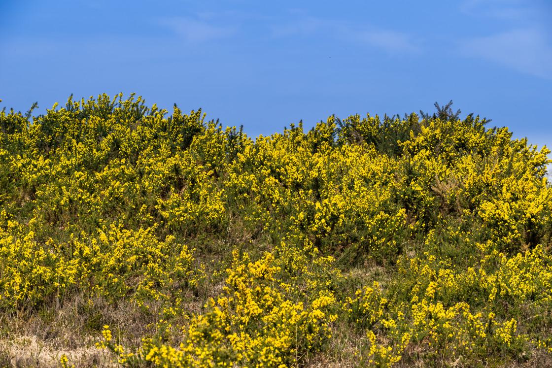 """Yellow Gorse Bloom"" stock image"