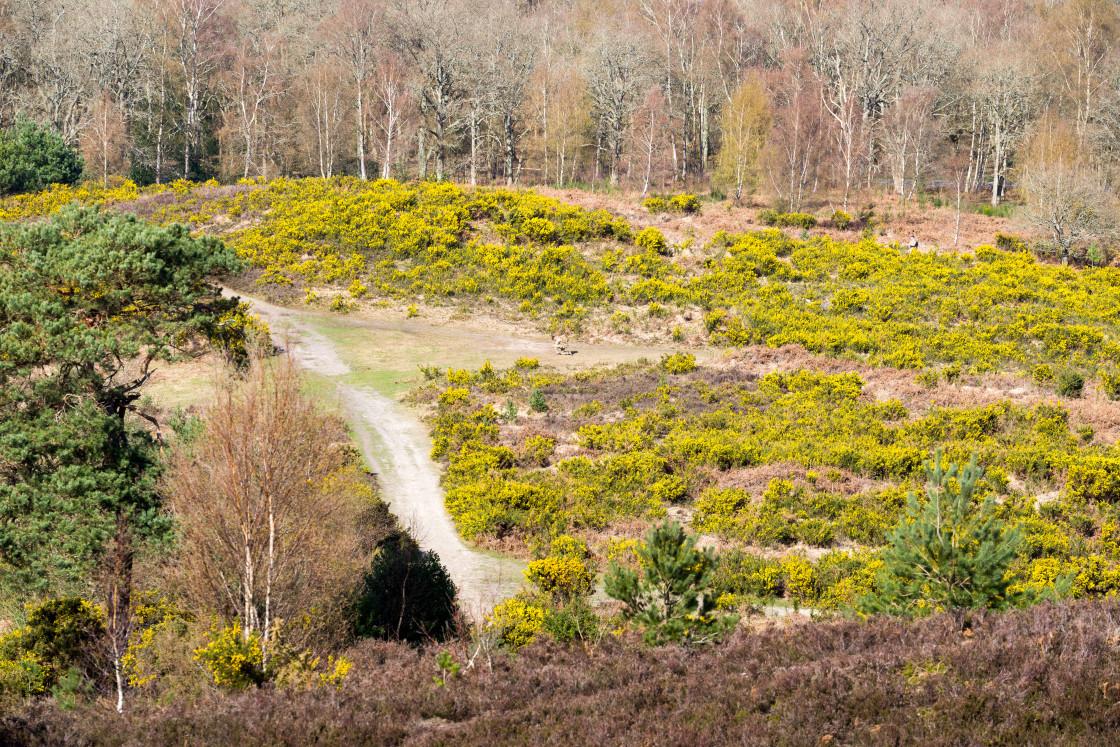"""Yellow Gorse Bloom Landscape"" stock image"