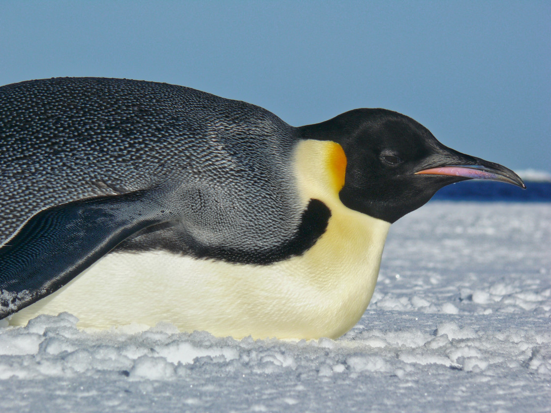 """closeup of Emperor Penguin (Aptenodytes forsteri)"" stock image"
