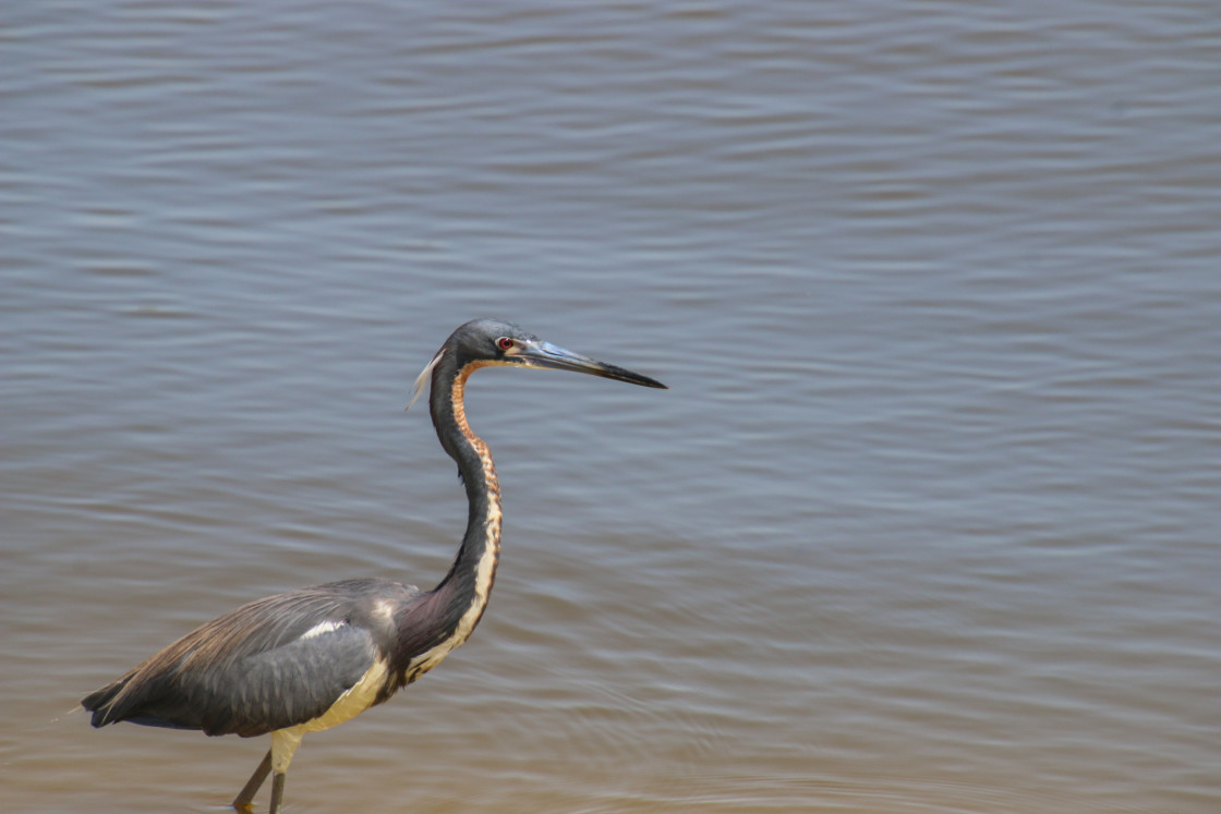"""Blue Heron High Resolution Bathed In Sunlight"" stock image"