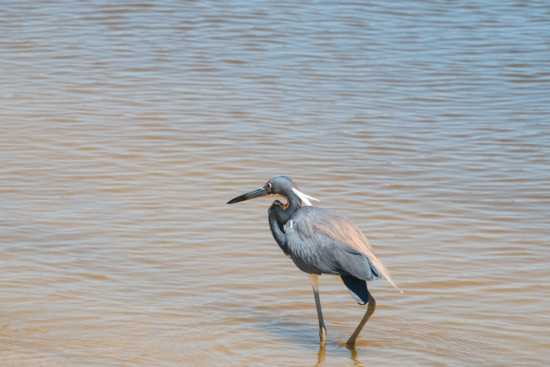 """Blue Heron Standing In Water Lake Harris Leesburg Florida"" stock image"