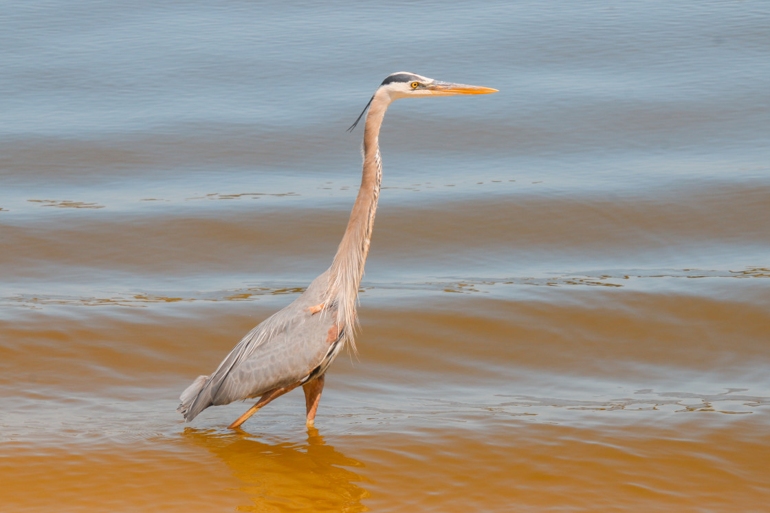 """Tall Neck Stretched Blue Heron Wades In Golden Blue Waters"" stock image"