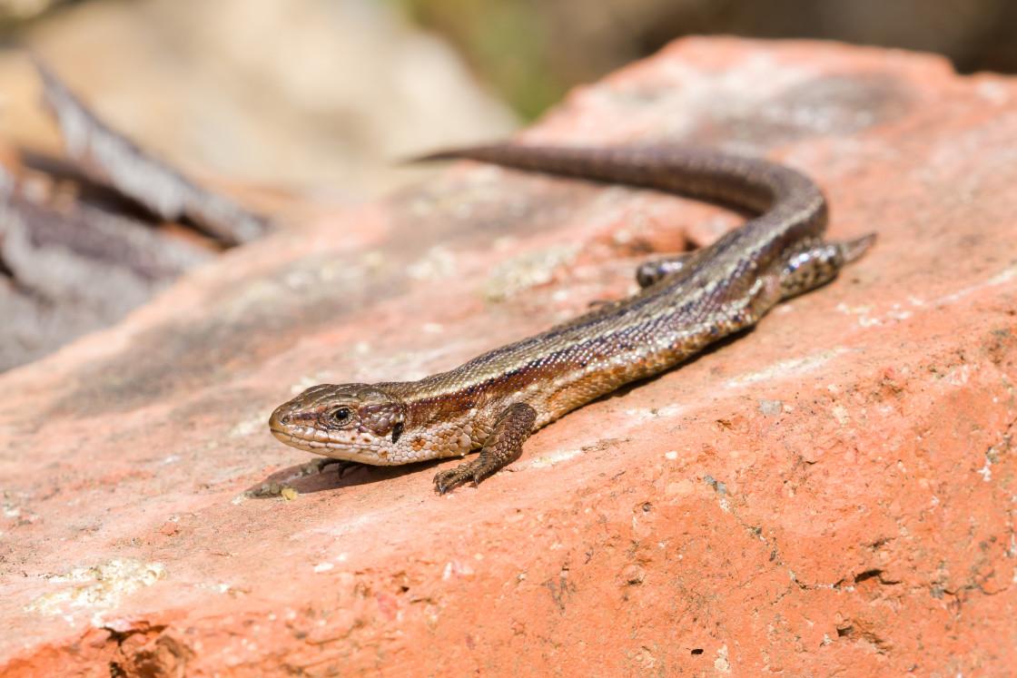 """""""Common Lizard"""" stock image"""