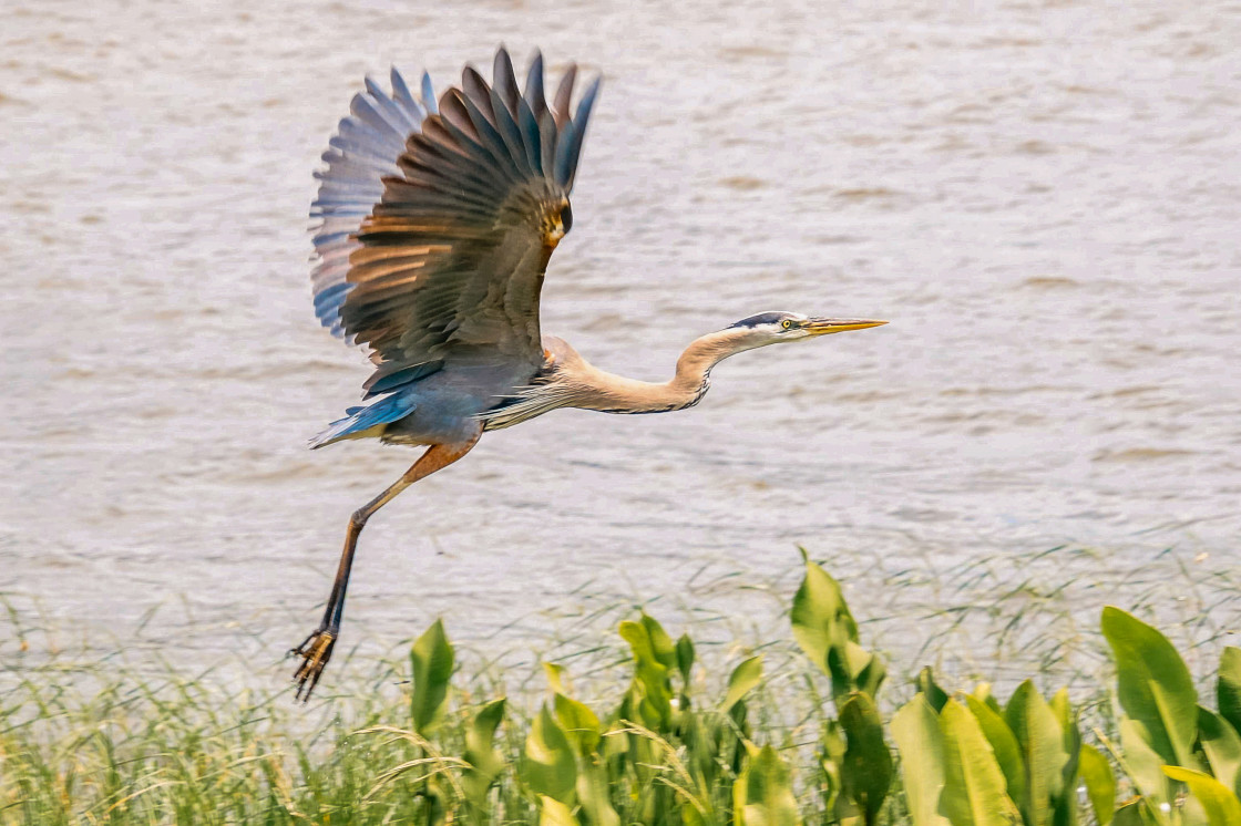 """GREAT BLUE HERON Lake Harris, Leesburg Florida"" stock image"