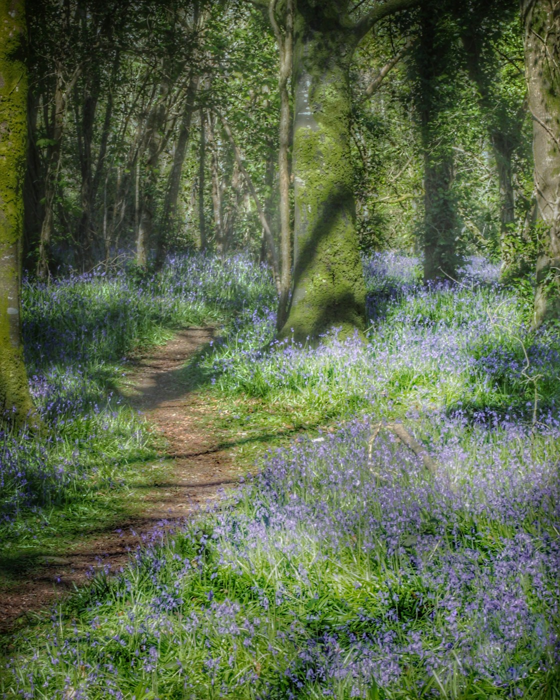 """""""Bluebells in the Woods"""" stock image"""
