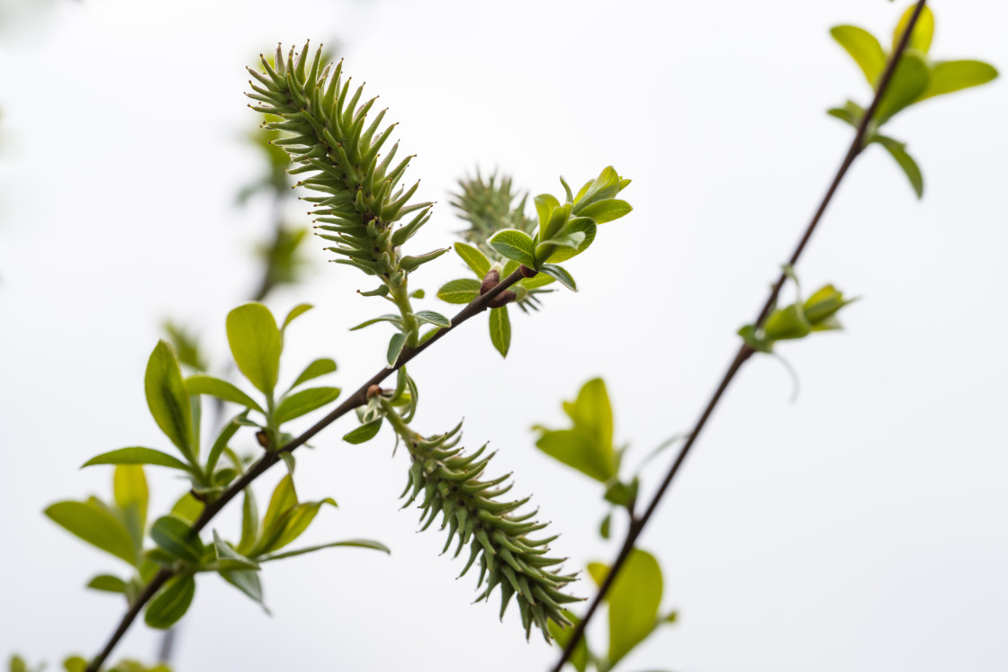 """""""Goat Willow Female Catkins"""" stock image"""