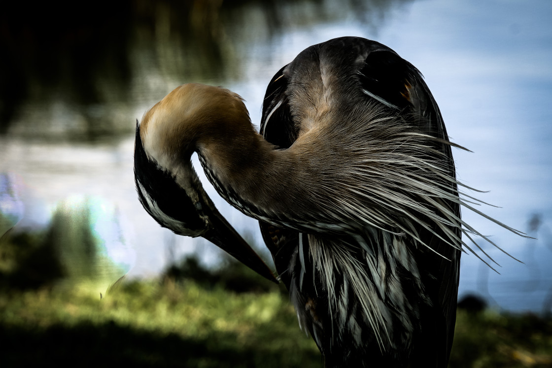 """GREAT BLUE HERON PREENING"" stock image"