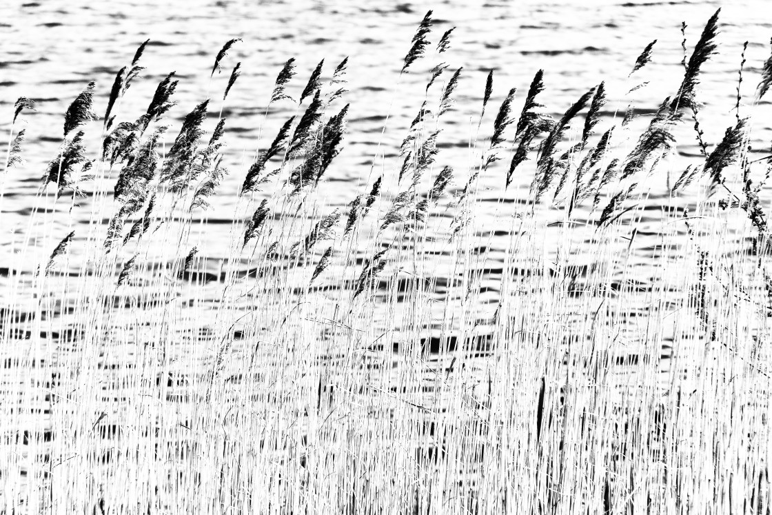 """""""Reeds in the Wind"""" stock image"""