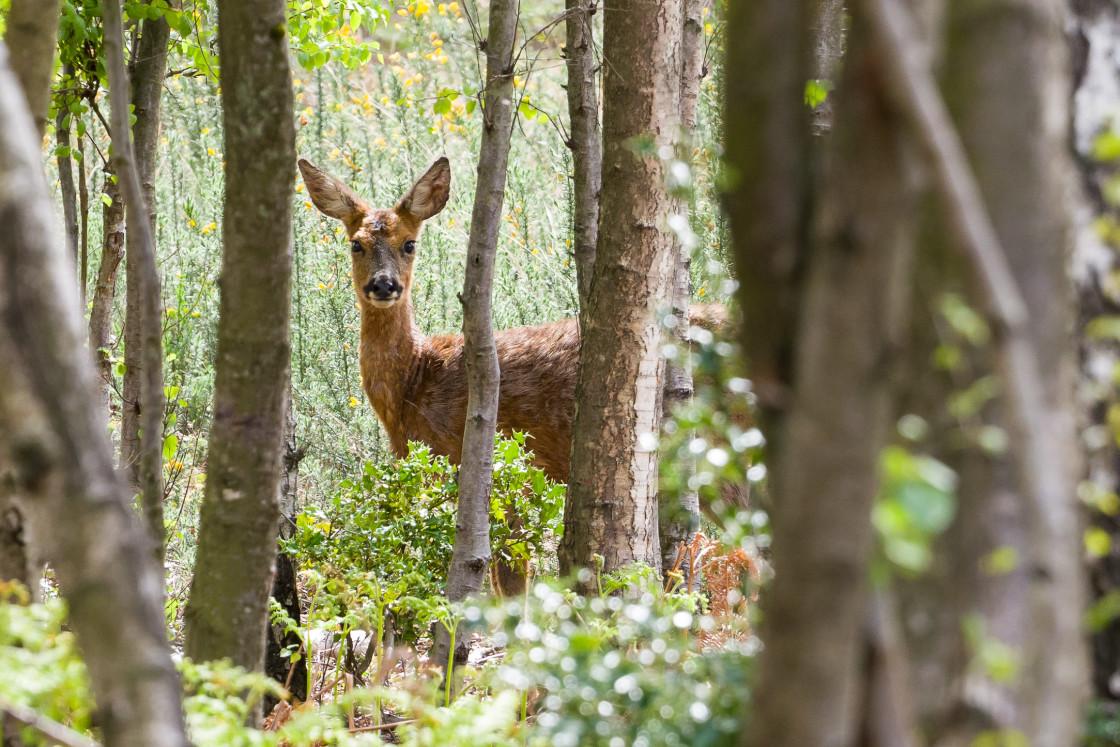"""""""Roe Deer Doe"""" stock image"""