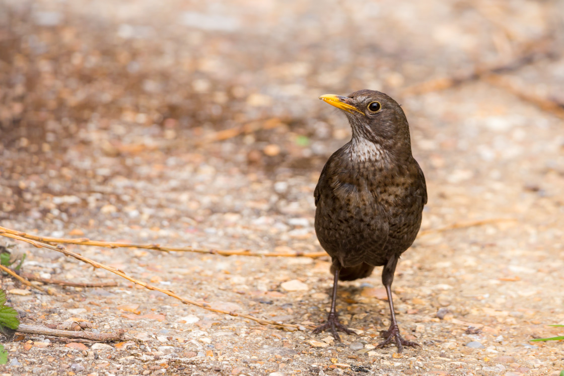 """Female Blackbird"" stock image"