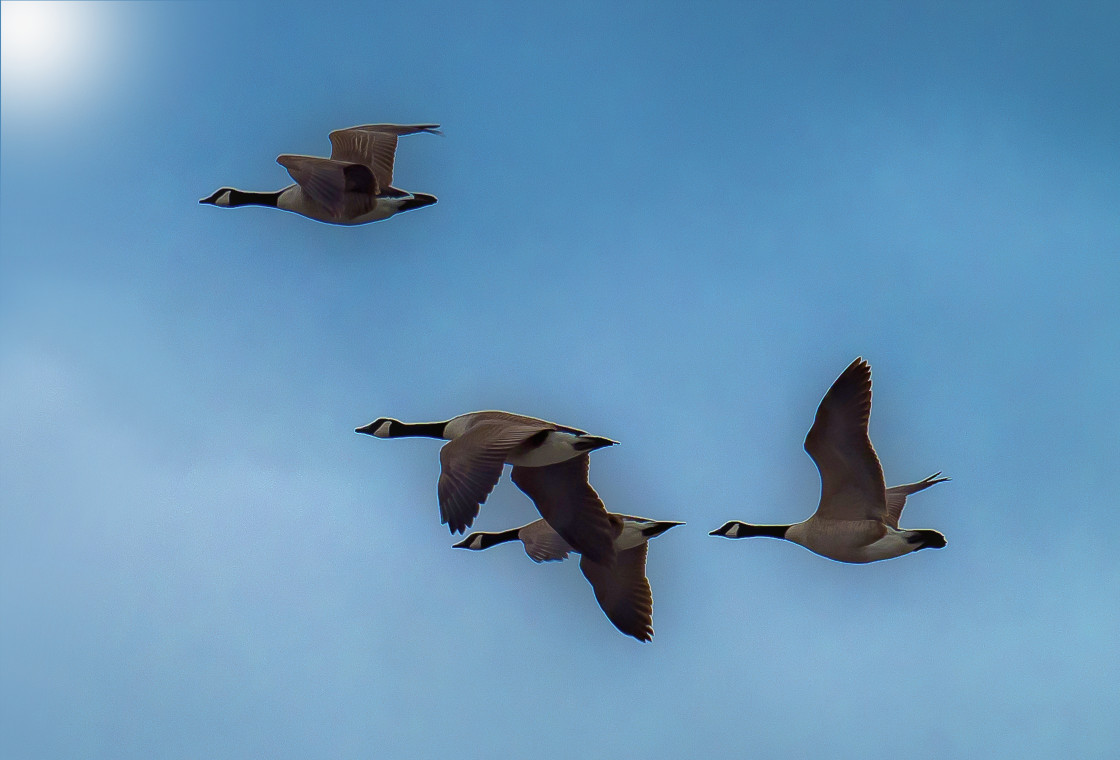 """""""Canada Geese Flyby"""" stock image"""
