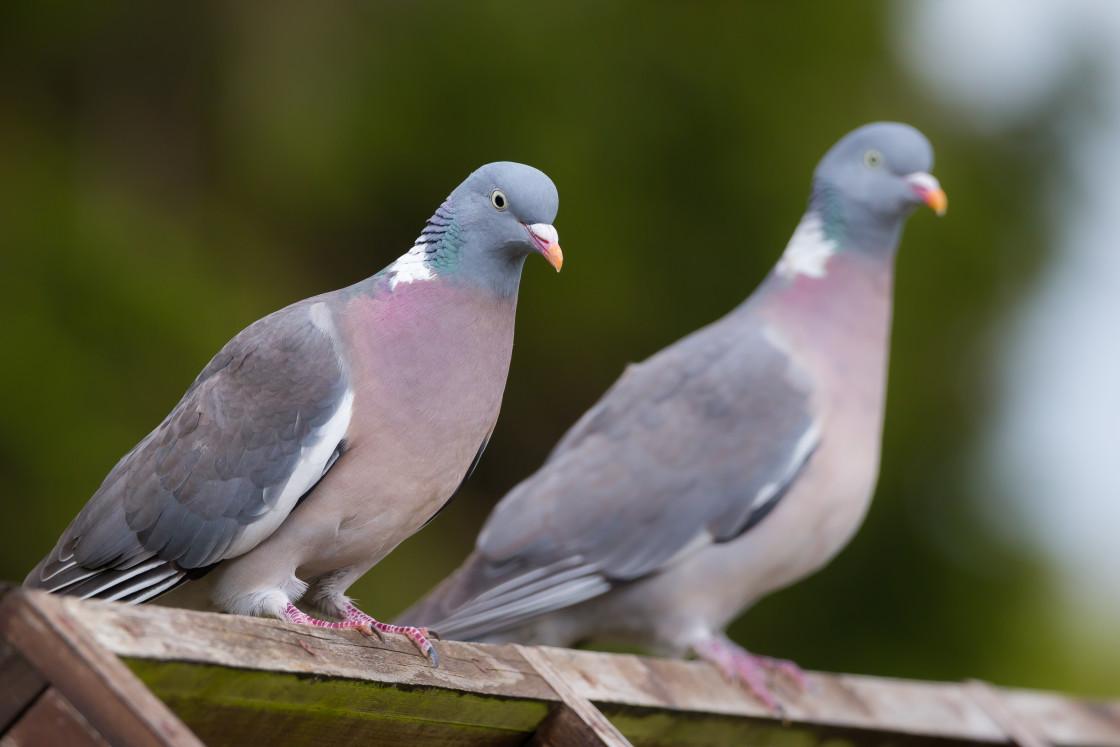 """Wood Pigeons"" stock image"