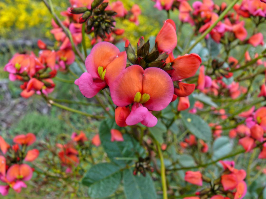 """Scarlet Flame pea Kennedia coccinea"" stock image"