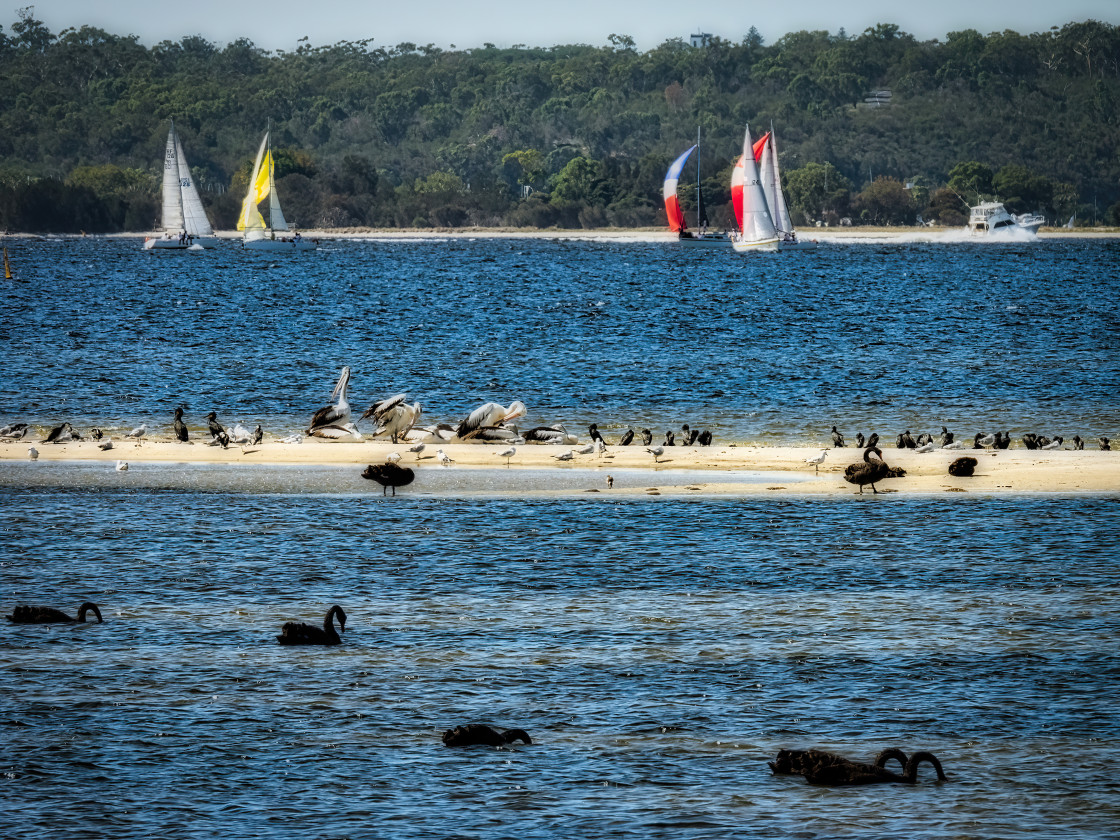 """""""Swan River Sand Bar with Many Water Birds 2"""" stock image"""