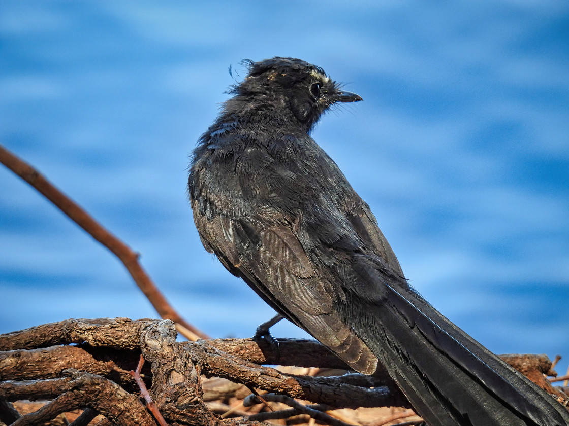 """""""Willy Wagtail by the River"""" stock image"""