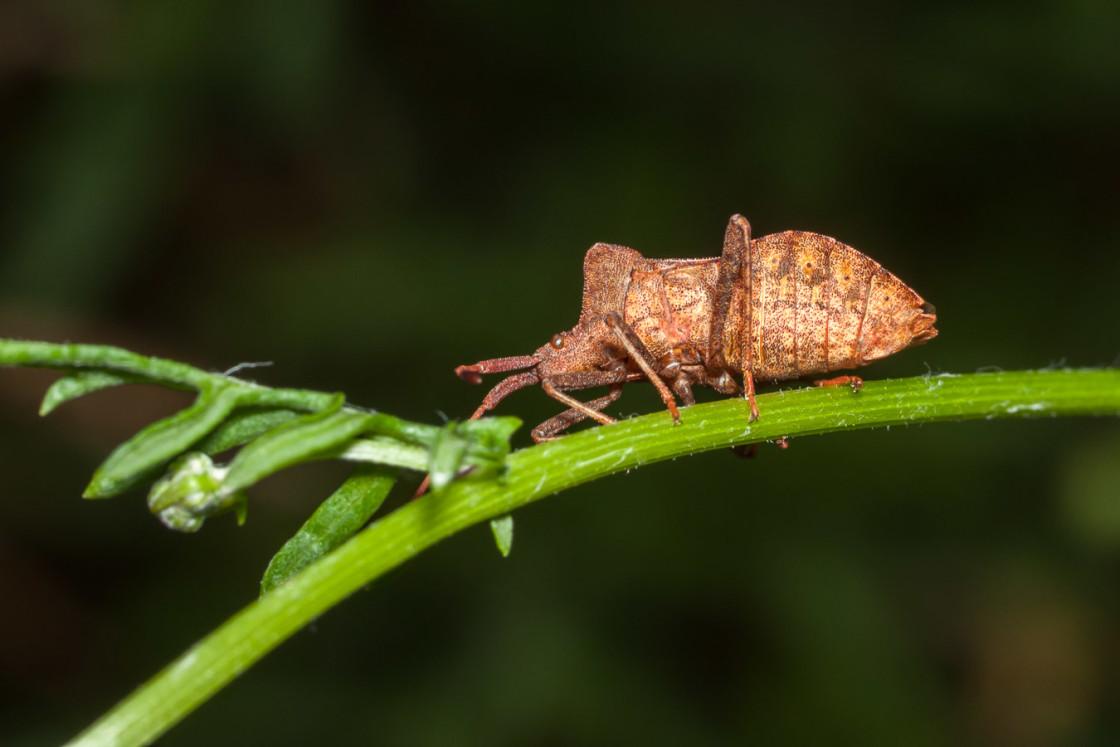 """""""Dock Leaf Bug"""" stock image"""