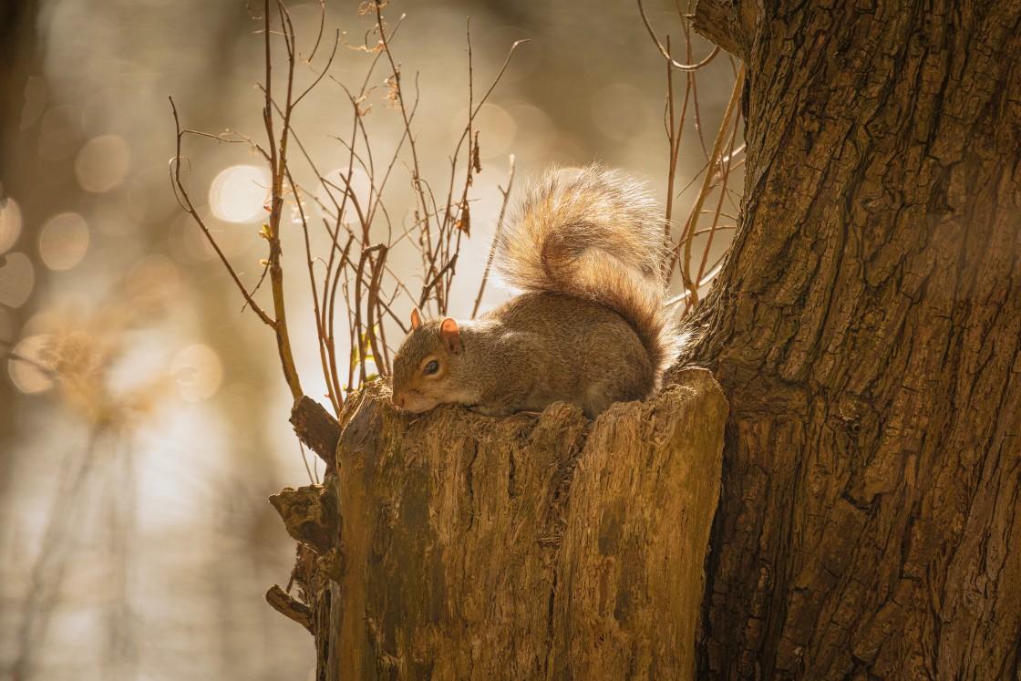 """Grey Squirrel Resting"" stock image"